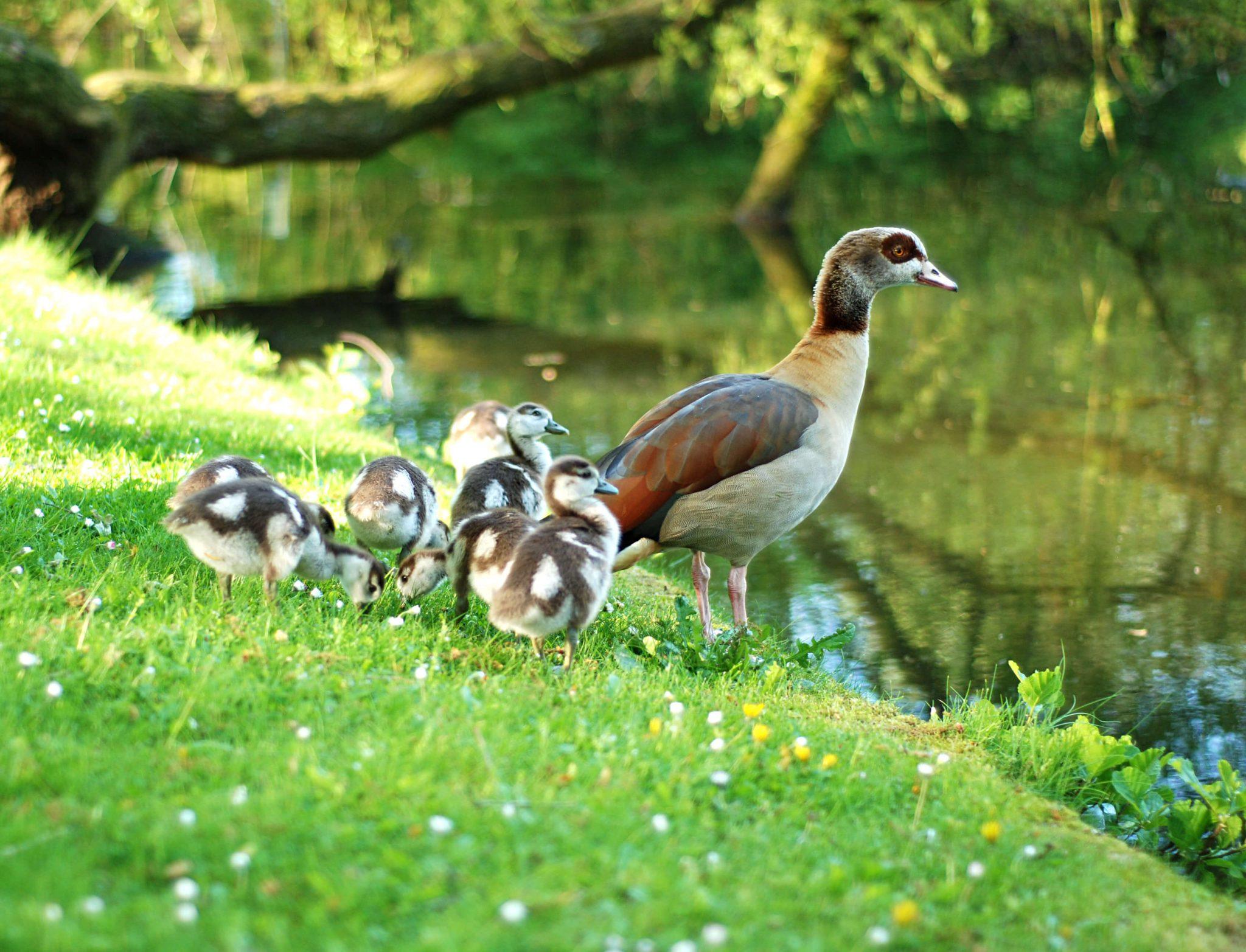 baby-ducks